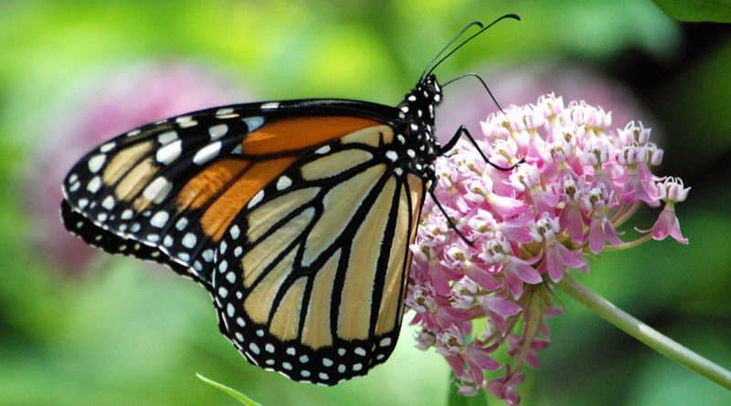 Numbers rapidly declining for California Monarch Butterfly by 86 percent