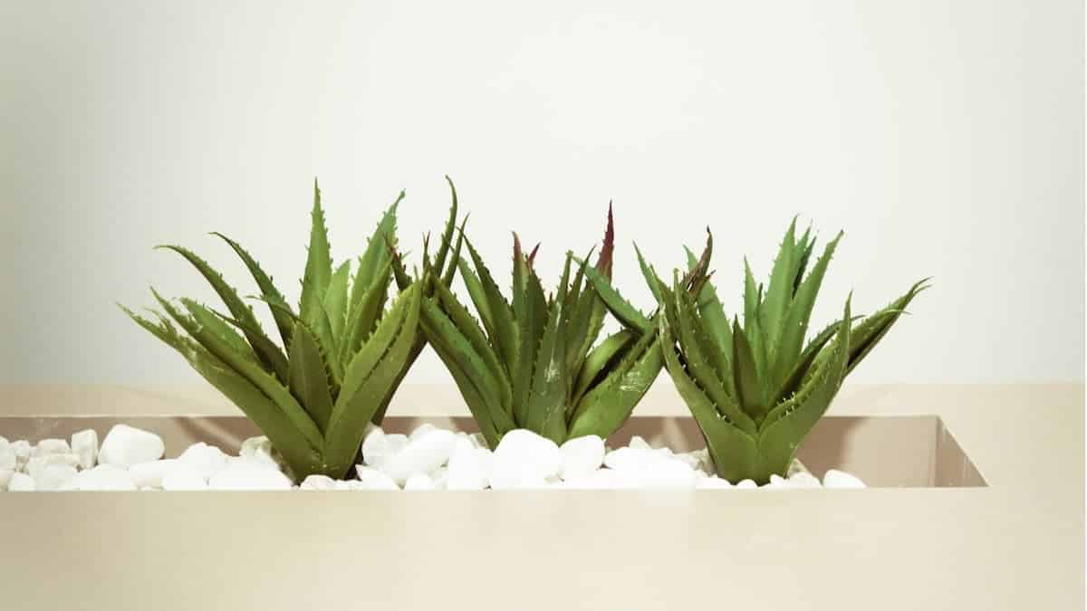 benefits_of_aloe_vera_on_face_overnight